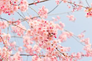 Cherry tree in bloom covered in light pink flowers.
