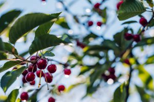Branch tree with red cherry fruit hanging