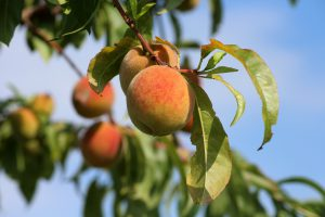 Peaches hanging ripe in the tree with blue sky behind