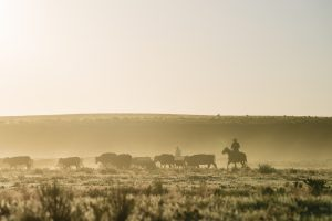 Person on horseback herds a group of cattle on a misty morning