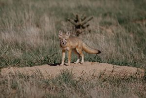 A coyote pup looks at the camera
