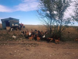 The Larga Vista flock of hens pictured in front of their movable chicken house