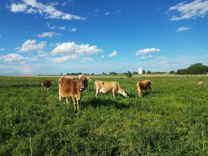 Cows in pasture at Larga Vista